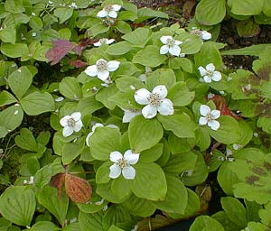 cornus candensis (creeping dogwood or bunchberry | paghat.com
