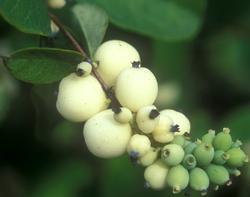 symphoricarpos x chenaultii (chenault coralberry) | beavercreeknursery.com