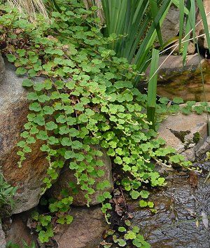 rubus calycinoides (ornamental or creeping raspberry) | northcreeknurseries.com