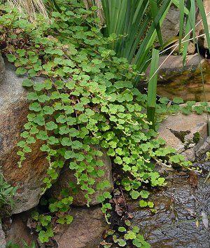 rubus calycinoides (ornamental or creeping raspberry) | northcreeknurseries.com