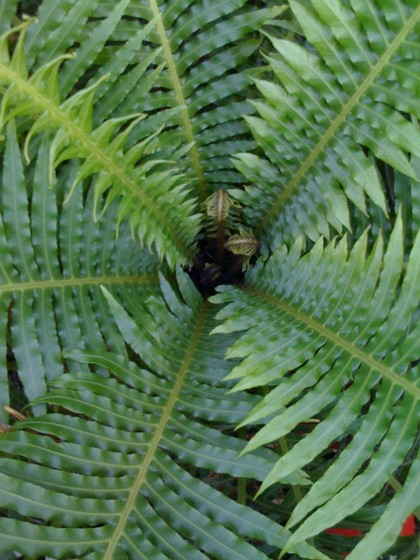 fern at roger williams botanical gardens, providence ri