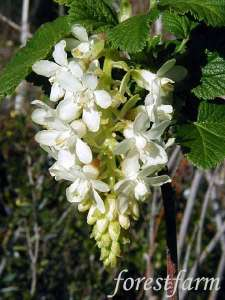 ribes sanguineum hannaman's (white flowering currant) | forestfarm.com