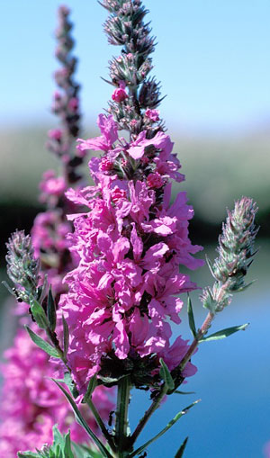purple loosestrife | nps.gov