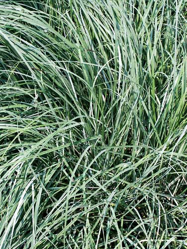 carex glauca (flacca) blue zinger | plantdelights.com