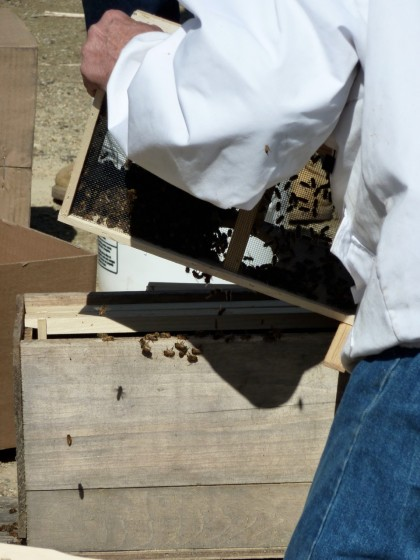 moving the bees into the hive