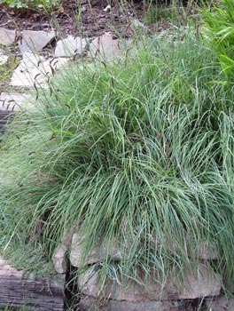 carex glauca (or flacca) blue sedge | bluestem.ca