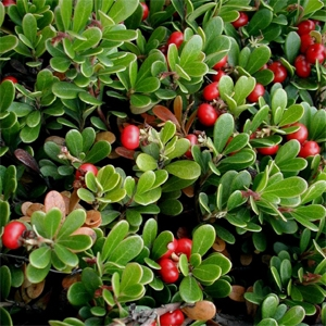 common bearberry | abnativeplants.com
