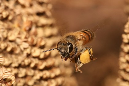 common honeybee | wikipedia.com