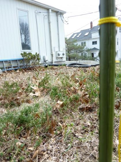 juniper removal