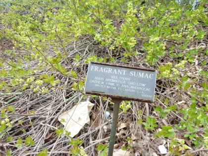 fragrant sumac at brooklyn botanic