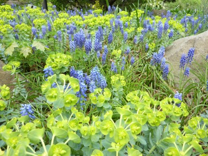 grape hyacinths and euphorbias