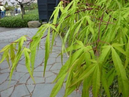 green japanese maple