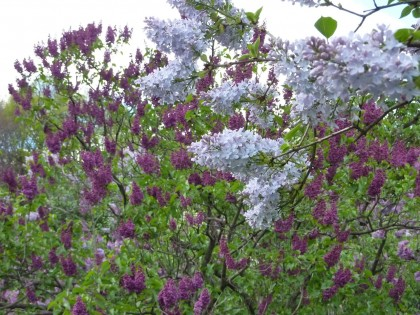 heavenly scented lilacs