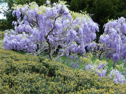 wisteria on display