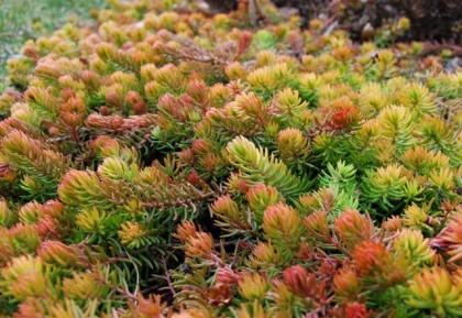 sedum angelina | awaytogarden.com the BEST gardening blog EVER
