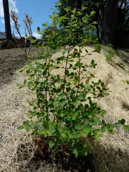 amythest coralberry