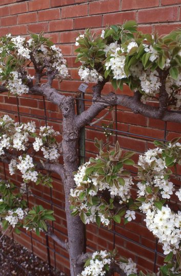 espaliered asian pear | tulsagardencenter.com