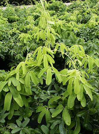 akebia quinata shirobana foliage | pendernursery.com