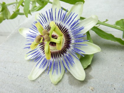 passionflower in waiting