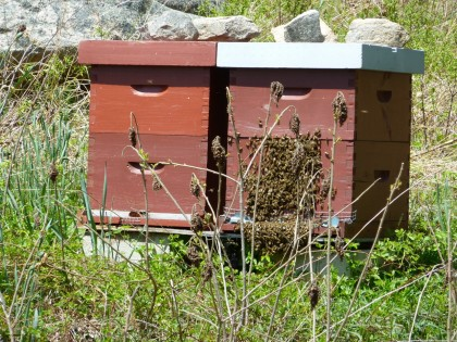 bees beginning to swarm