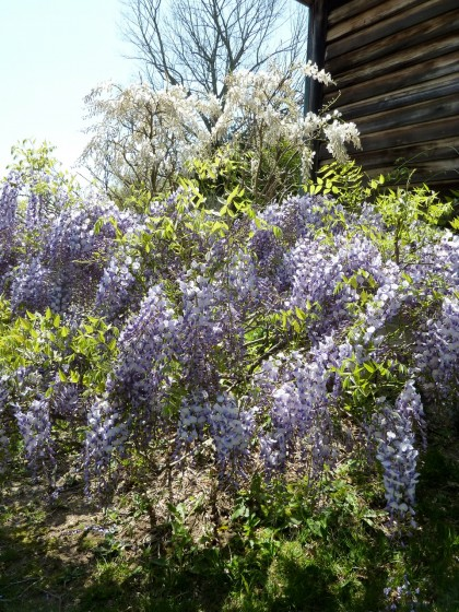purple and white wisteria