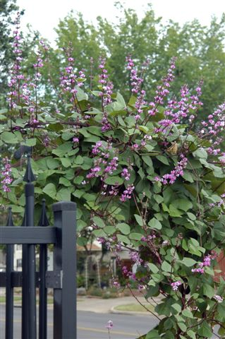 hyacinth bean vine | dirtdoctor.com