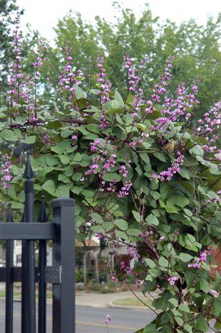 hyacinth bean vine | dirtdoctor.com