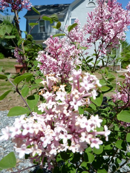 what a lovely lilac!