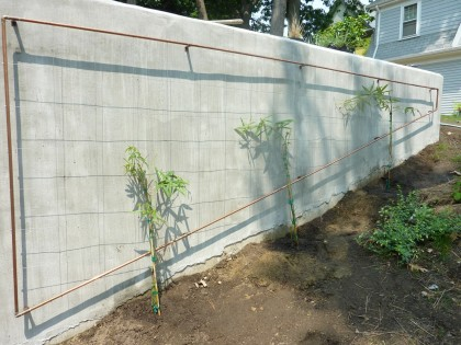 trellis with rubus calycinoides planted