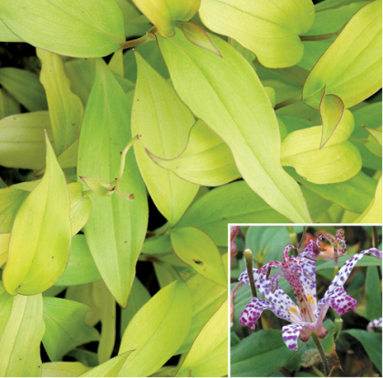 Tricyrtis 'Guilty Pleasure' | waysidegardens.com