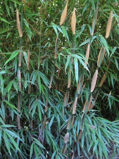 fargesia sp. 'rufa', photo: Noah Bell | bamboogarden.com