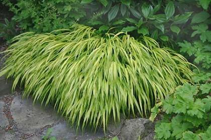 hakonechloa macra 'aureola' | rainyside.com