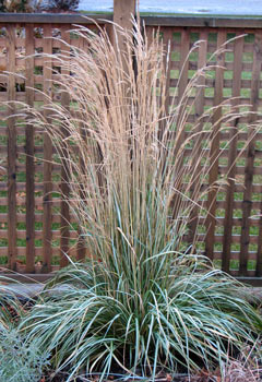 calamagrostis x acutiflora 'avalanche' | bluestem.ca