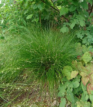 carex appalachica | northcreeknurseries.com