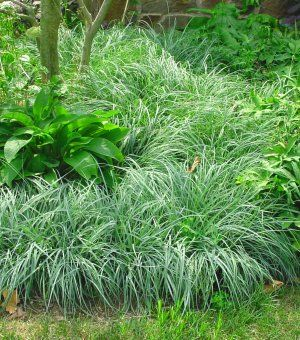 carex flacca 'blue zinger' | northcreeknurseries.com