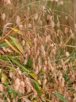 chasmanthium latifolium | northcreeknurseries.com