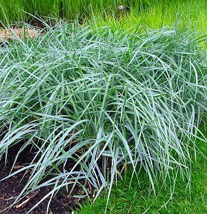 elymus arenarius blue dune | northcreeknurseries.com