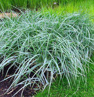 Elymus arenarius blue dune blue lyme grass