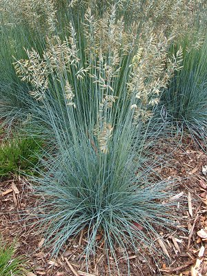 festuca glauca elijah blue | gatewaygardens.com
