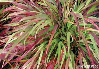 hakonechloa macra beni kaze | heronswood.com