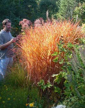 miscanthus sinensis purpurascens | bluestem.ca