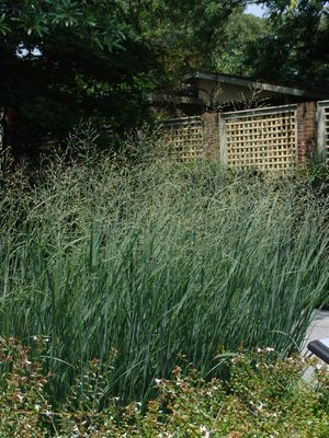 panicum virgatum 'heavy metal' | northcreeknurseries.com