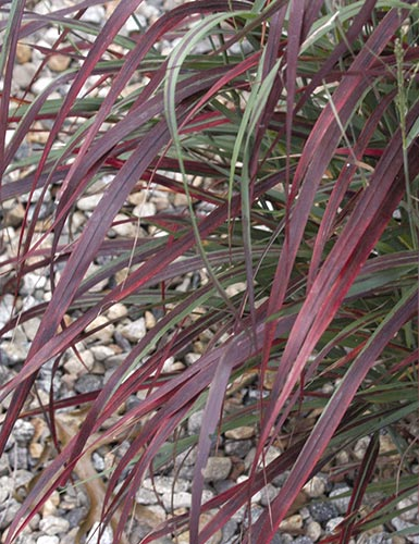 panicum virgatum ruby ribbons | plantdelights.com