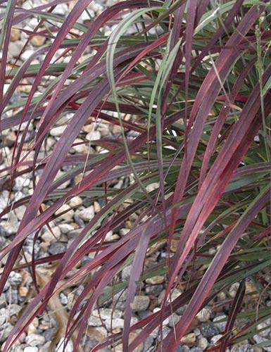 panicum virgatum 'ruby ribbons' | plantdelights.com