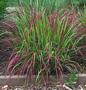 panicum virgatum shenandoah | northcreeknurseries.com