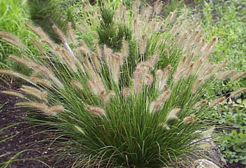 pennisetum alopecuroides 'hameln' | bluestem.ca