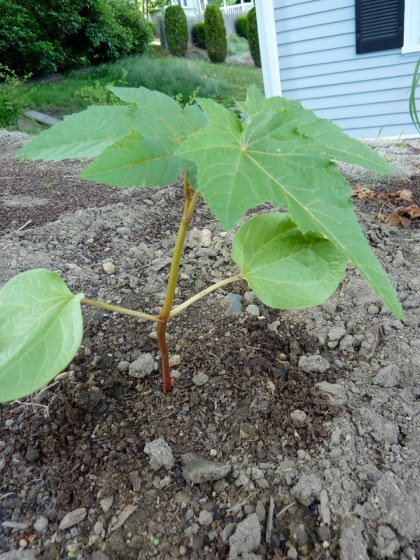 plant disasters... castor bean alive