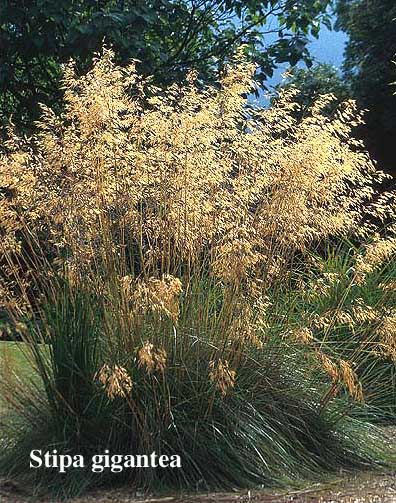 stipa gigantea | casarocca.com