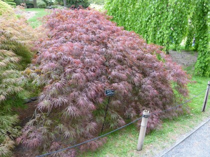 acer palmatum 'crimson queen' | shot at Brooklyn Botanic Garden