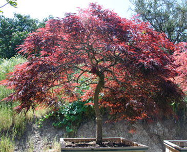 acer palmatum 'red dragon' | pacificcoastmaples.com